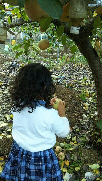 リンゴ収穫3