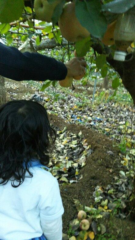リンゴ収穫体験1