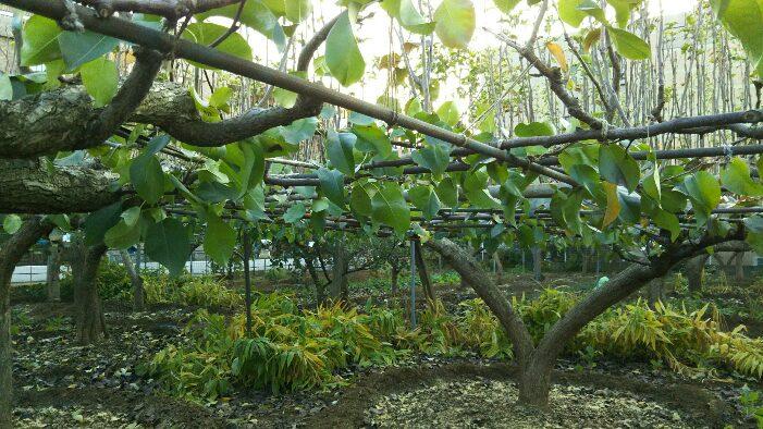 秋の梨の木1