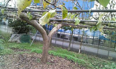 だいぶ葉のおちた梨の木