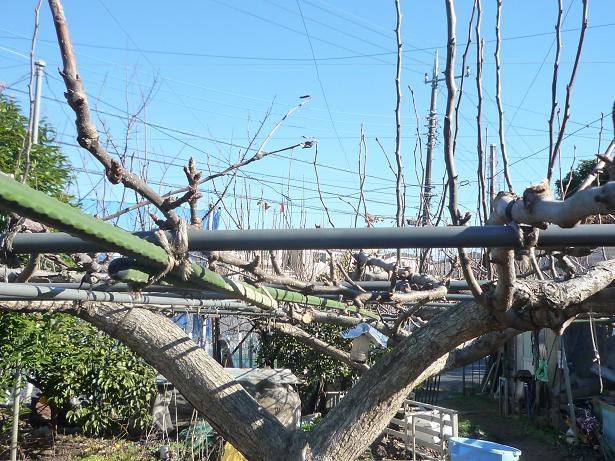 剪定後の梨の木