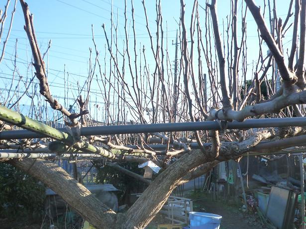 剪定前の梨の木