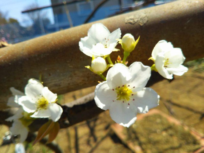 青新高梨の花