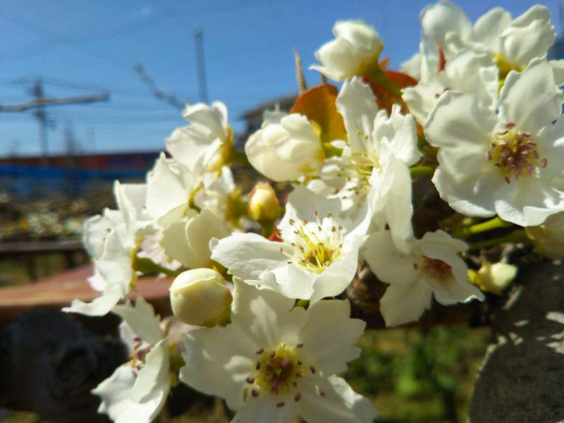 豊水梨の花