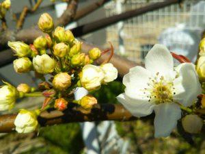 にっこり梨の花