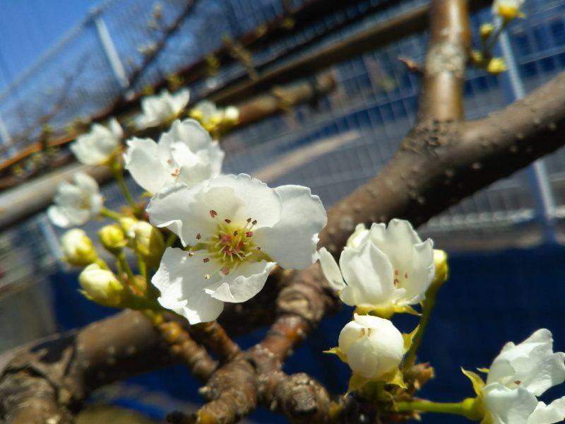 新高梨の花
